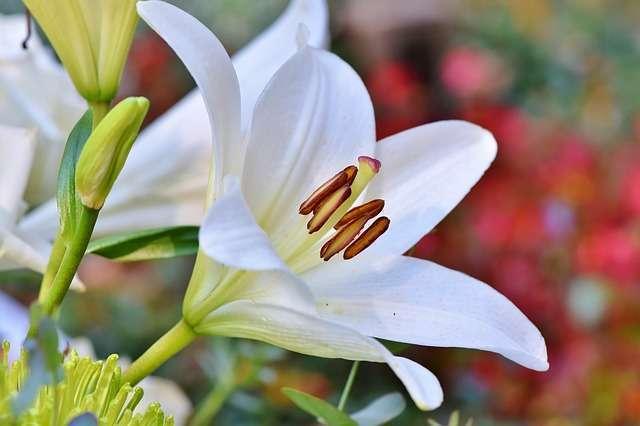 Fleur de la semaine  : Le Lys