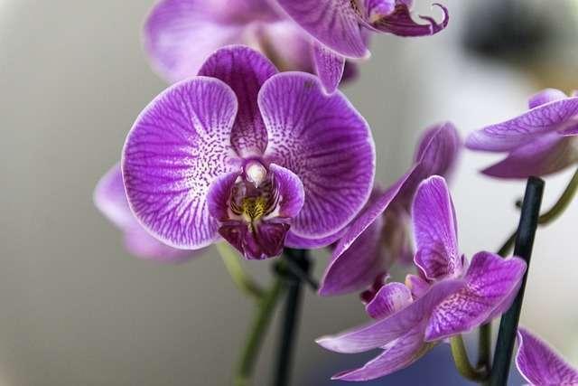 La Fleur de la semaine  : L'Orchidée