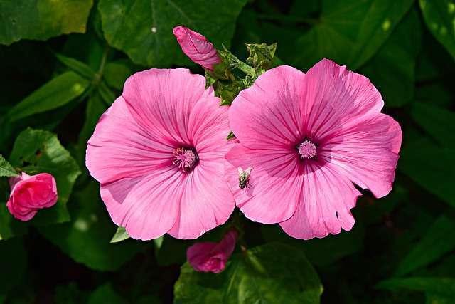 Fleur de la semaine : L'Hibiscus
