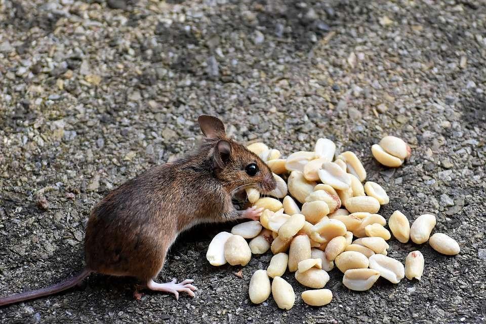 les souris..une prolifération exponentielle